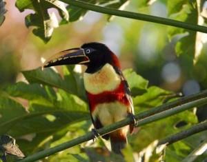 Aracari Pérou